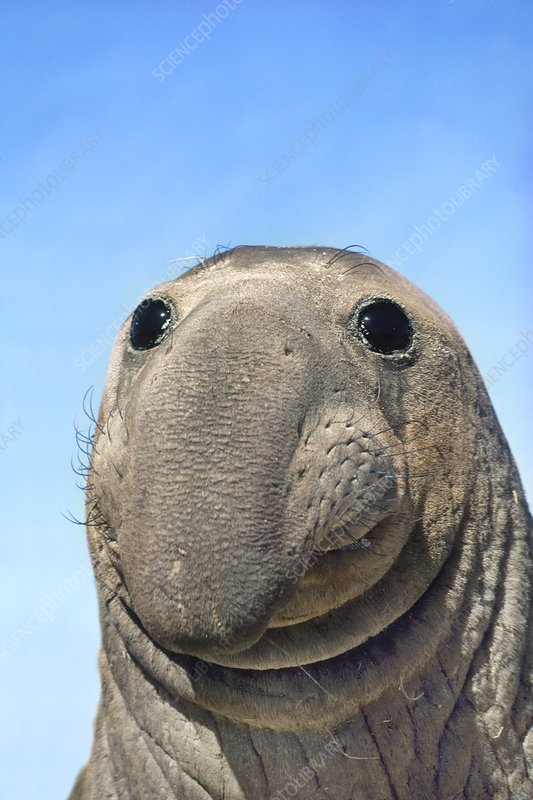 Northern elephant seal male