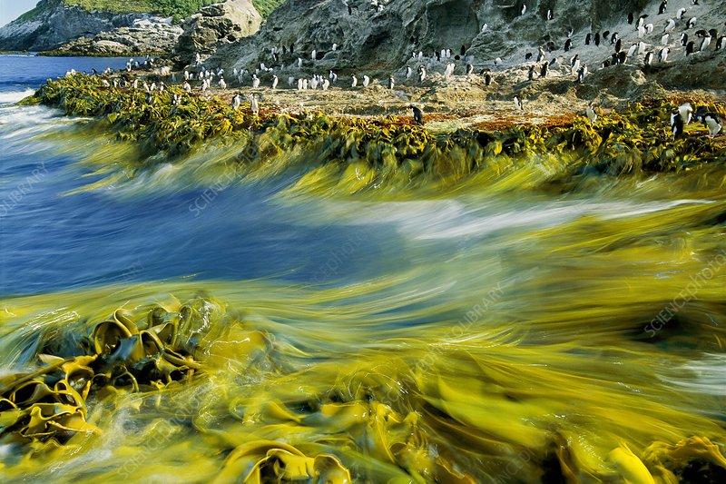 Surf, bull kelp, Durvillaea sp.