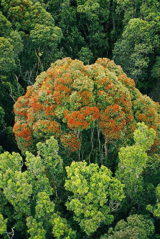 Flowering tree, Metrosideros umbellata