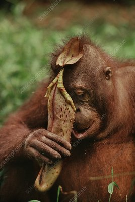 Orangutan drinking from pitcher plant
