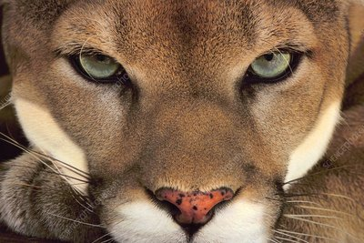 A Cougar, Puma concolor, a male animal
