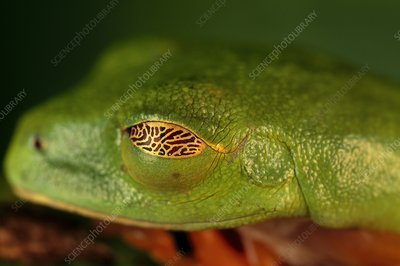 Red-eyed tree frog sleeping