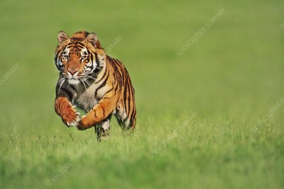 Bengal tiger male running, Panthera