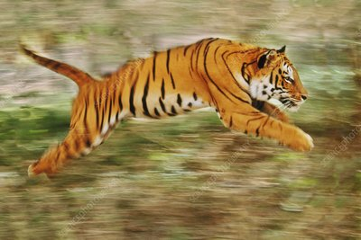 Bengal tiger leaping, India