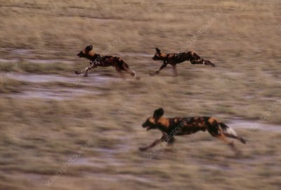 African wild dogs hunting, Lycaon pictus