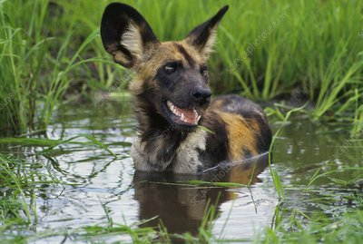 African wild dog cooling off