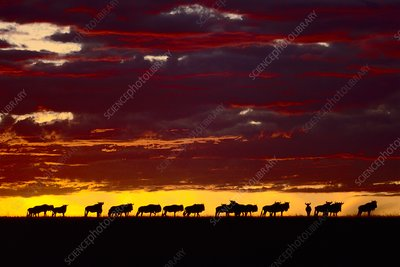 Wildebeest at dawn, Connochaetes taurinus