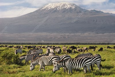 Zebras and wildebeests grazing, Kenya