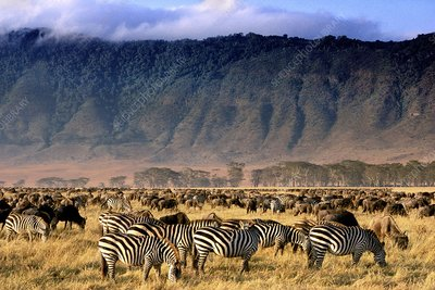 Zebras and wildebeests grazing, Tanzania