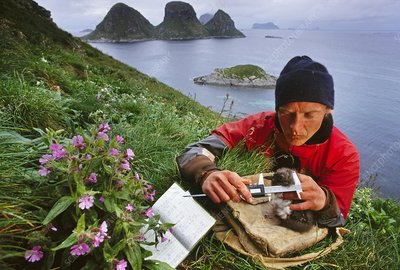 researcher measuring Atlantic puffin