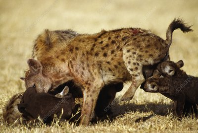 Spotted hyena mother with pups, Kenya