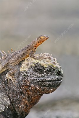 Lava lizard perched on marine iguana