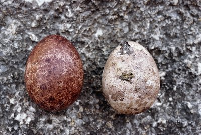 Two peregrine falcon eggs, compared