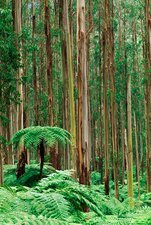Tree ferns in eucalyptus forest