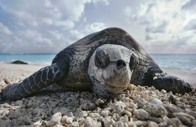 Green sea turtle sleeping, Chelonia mydas