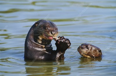 Giant river otter mother and baby, Brazil