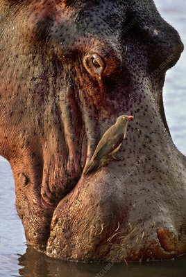 Red-billed oxpecker and Hippopotamus