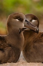Black-footed albatross bird pair