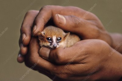 Brown mouse lemur cradled in man's hand