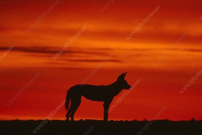 African wild dog at sunset, Lycaon pictus