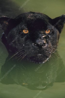 Black jaguar in water, Panthera onca