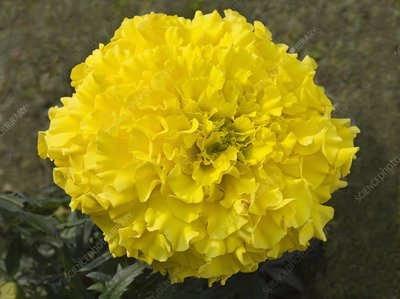 Tagetes erecta 'Discovery Yellow F1'