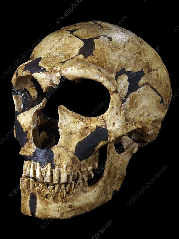 Neanderthalensis Fossil