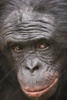 Bonobo male, Pan paniscus