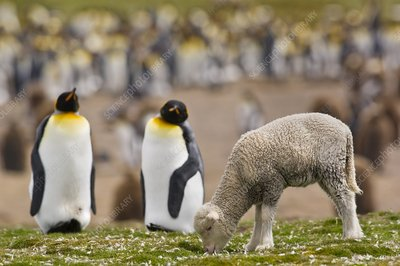 Sheep and king penguins, Falklands
