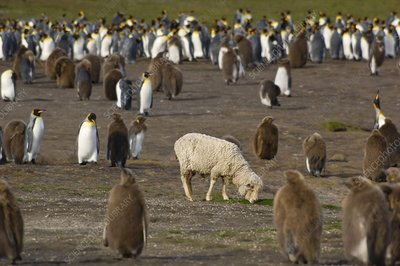 Sheep, Ovis aries, in king penguin colony
