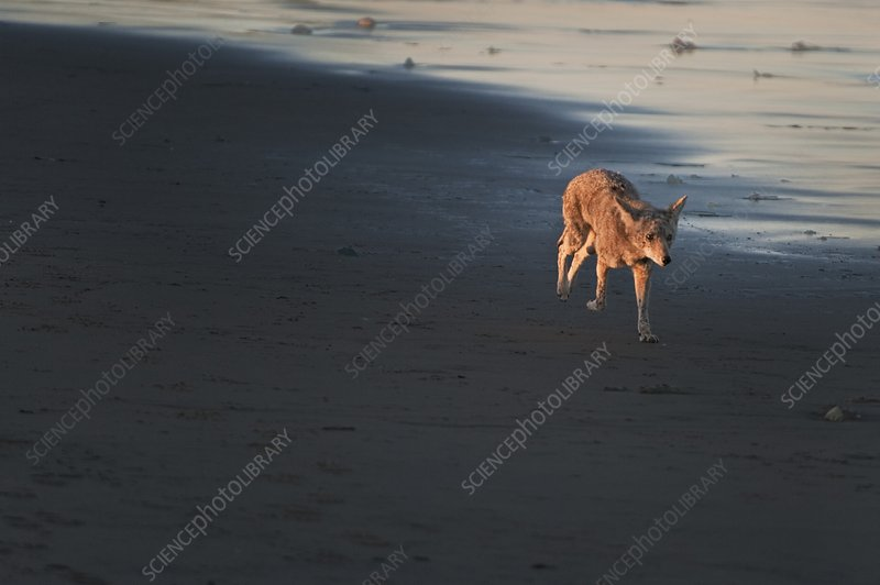 Coyote walking on beach