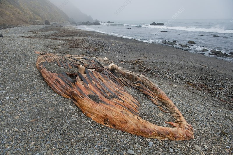 Dead humpback whale on beach
