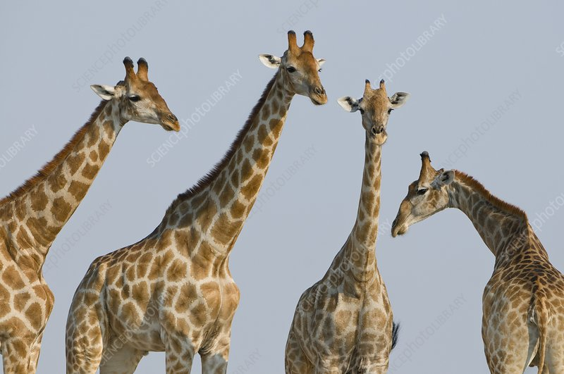 Giraffes, Etosha, Namibia
