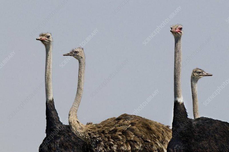 Ostriches, Struthio camelus