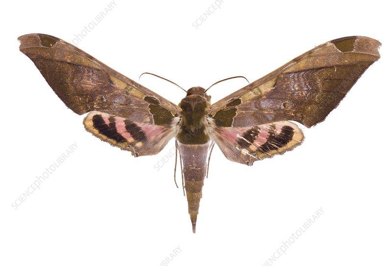 Adhemarius ypsilon moth
