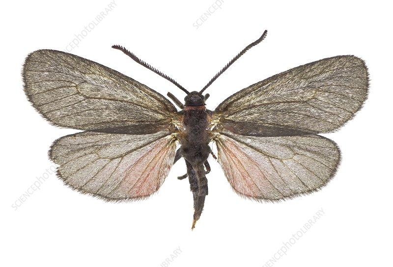 Almond-tree leaf skeletoniser moth