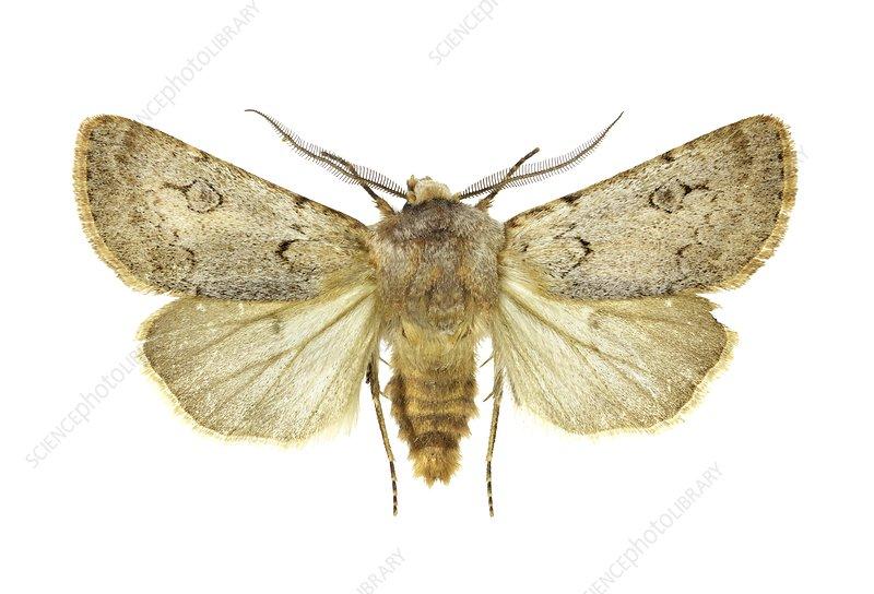 Agrotis turatii moth