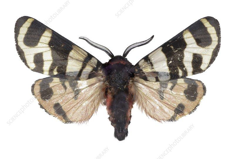 Hebe tiger moth