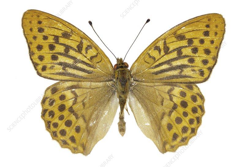 Argynnis paphia butterfly