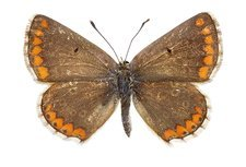 Southern brown argus butterfly