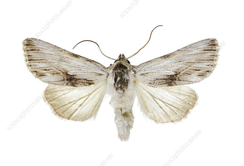 Antirrhinum brocade moth