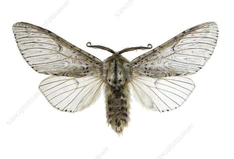 Cerura iberica moth