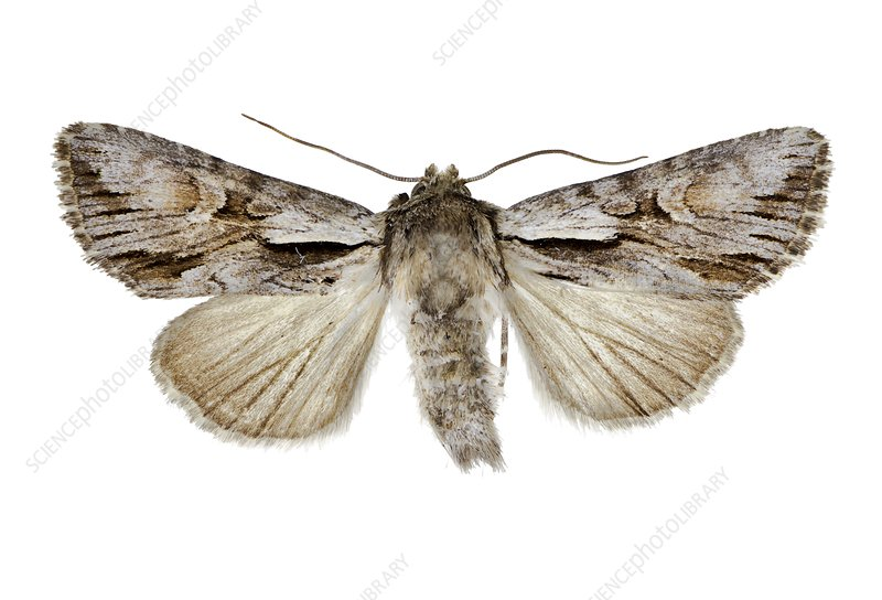 Pale-shouldered cloud moth