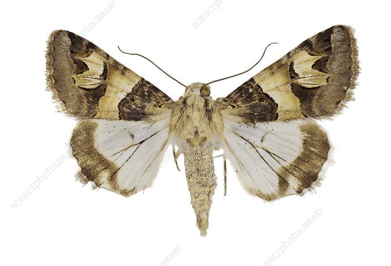 Drasteria cailino moth