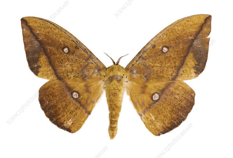 Eacles penelope moth