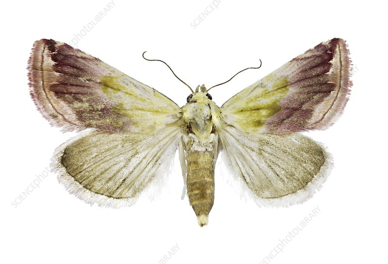 Beautiful marbled moth