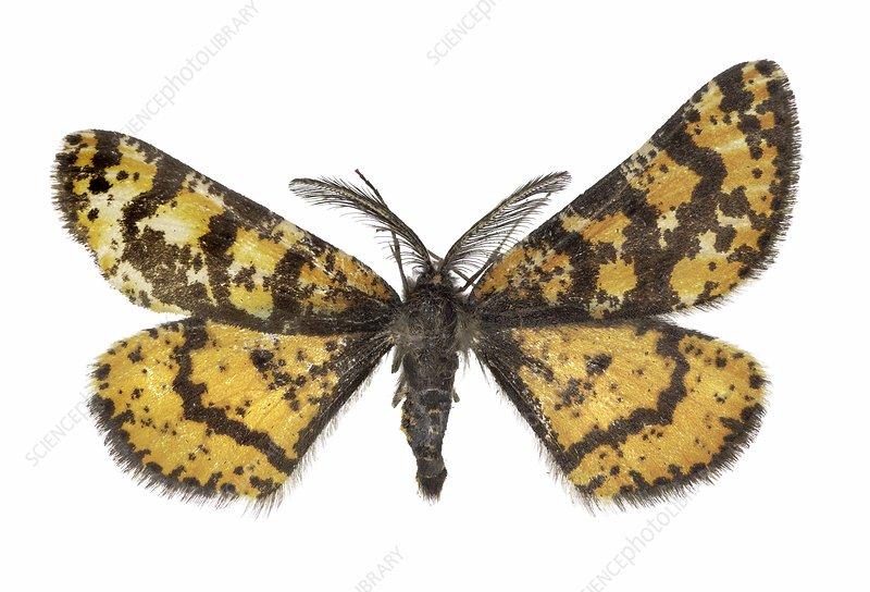 Eurranthis plummistaria moth