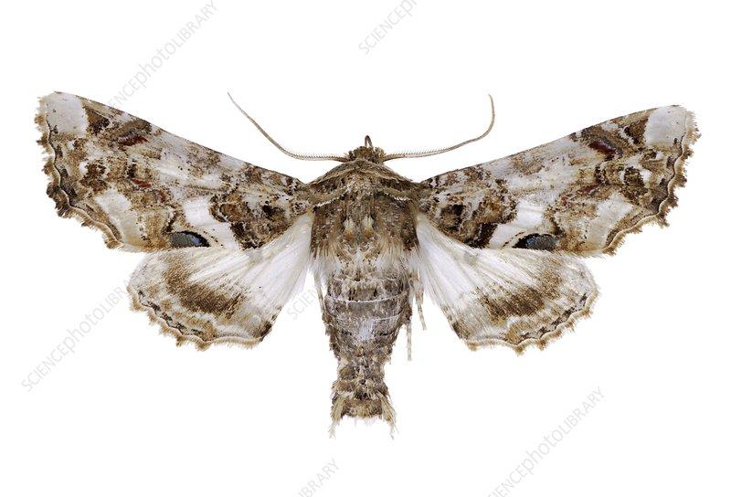 Eutelia adulatrix moth
