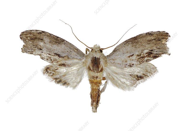 Greater wax moth