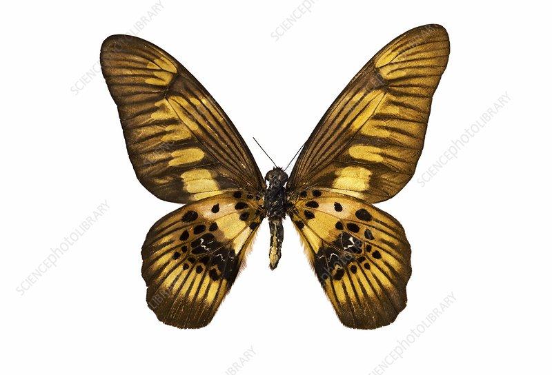 Coppery swordtail butterfly